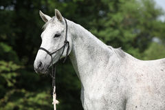 白色英国良种马画象  免版税库存照片