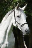 白色英国良种马画象  免版税库存图片