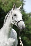 白色英国良种马画象  库存照片