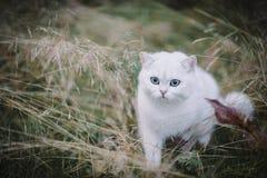 白色英国shorthair猫在秋天森林里 库存图片