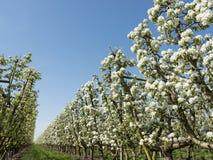 白色苹果在有蓝天的荷兰果树园开花 图库摄影
