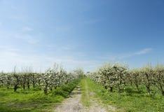 白色苹果在有蓝天的荷兰果树园开花 免版税图库摄影