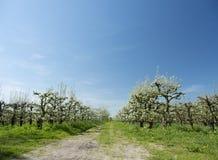 白色苹果在有蓝天的荷兰果树园开花 库存图片