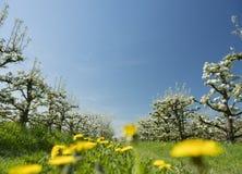 白色苹果在有蓝天的荷兰果树园开花 免版税库存照片