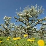 白色苹果在有蓝天的荷兰果树园开花 免版税库存图片
