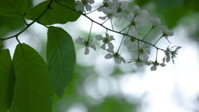 白色苹果开花分支 股票 与白花的树枝 背景蓝色云彩调遣草绿色本质天空空白小束 股票录像