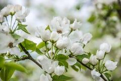 白色苹果树开花特写镜头 开花的花在春天 库存图片