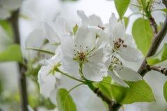 白色苹果树开花特写镜头 开花的花在春天 免版税库存图片