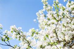 白色苹果树开花,并且绿色在一个蓝天背景离开 免版税图库摄影