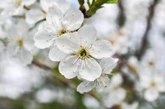 白色苹果树开花 免版税库存照片