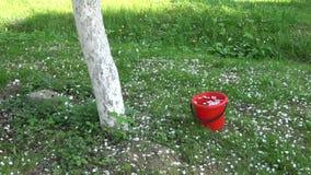 白色苹果树瓣在春天,慢动作下雨 股票视频