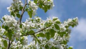 白色苹果树花 开花的花在一个晴朗的春日 免版税库存照片
