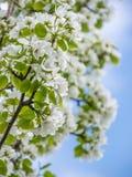白色苹果树花 开花的花在一个晴朗的春日 库存照片
