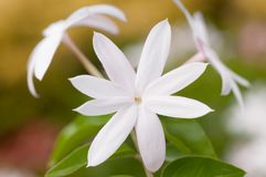 白色茉莉花开花极端关闭  库存图片