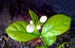 白色茉莉花植物 库存图片