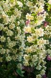 白色茉莉花的布什和桃红色玫瑰 白色和桃红色花的庭院安排 库存图片