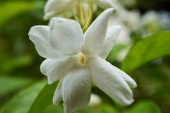 白色茉莉花,一朵美丽的花 免版税库存图片