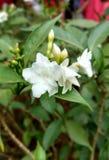 白色茉莉花 库存图片