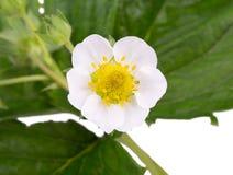 白色草莓开花 库存图片