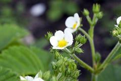 白色草莓花在5月 库存照片