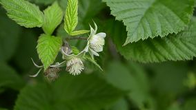 白色莓在分支,特写镜头开花 影视素材