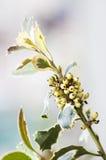 白色莓果 库存照片