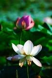 白色莲属nuciferas 免版税库存照片