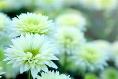 白色菊花在花园与软的焦点的农业背景中 图库摄影