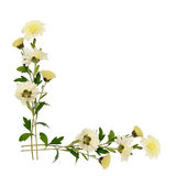 白色菊花花和芽壁角安排 库存图片