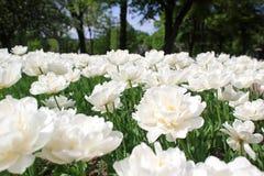 白色菊花花在华丽的花床上 免版税库存图片