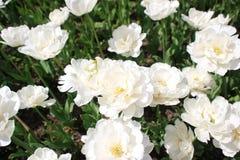 白色菊花花在华丽的花床上 库存照片
