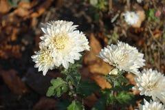 白色菊花花在11月 免版税库存照片