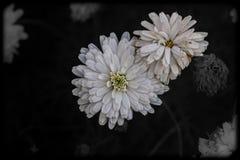 白色菊花花束 免版税库存图片