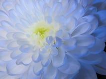 白色菊花芽特写镜头,突出在蓝色照明设备 免版税图库摄影