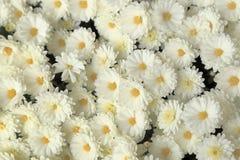 白色菊花顶视图开花背景的花束 免版税库存照片