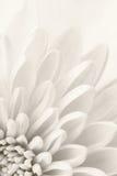 白色菊花 免版税库存图片