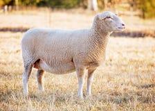 白色萨福克绵羊 免版税库存照片