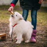 白色萨莫耶特人小狗室外在公园 免版税库存照片
