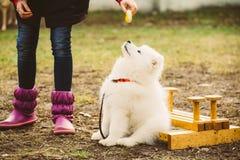 白色萨莫耶特人小狗室外在公园 免版税图库摄影