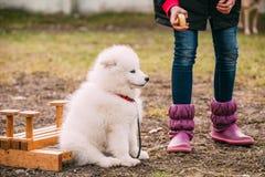 白色萨莫耶特人小狗室外在公园 库存照片