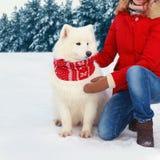 白色萨莫耶特人狗在冬天与穿一条红色围巾的妇女所有者的圣诞节坐在多雪的树森林的雪 图库摄影