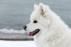 白色萨莫耶特人狗在冬天走在海的和展示 免版税图库摄影