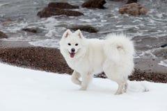 白色萨莫耶特人狗在冬天走在海的和展示 库存图片