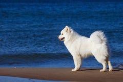 白色萨莫耶特人狗在海附近走 库存图片