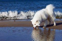白色萨莫耶特人狗在海附近走 库存照片