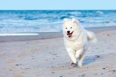 白色萨莫耶特人狗沿海滩跑在海附近 免版税库存图片