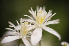 白色葱属装饰物花 库存照片