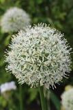 白色葱属头状花序 免版税库存照片