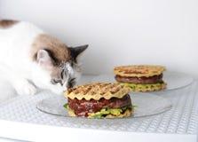 白色蓝眼睛的猫品尝与牛肉剁的汉堡,鳄梨调味酱捣碎的鳄梨酱,樱桃调味汁 奶油被装载的饼干 免版税库存图片