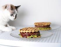 白色蓝眼睛的猫品尝与牛肉剁的汉堡,鳄梨调味酱捣碎的鳄梨酱,樱桃调味汁 奶油被装载的饼干 免版税库存照片